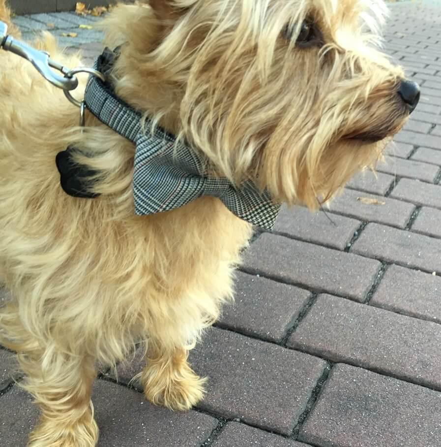Hundehalsband mit Fliege