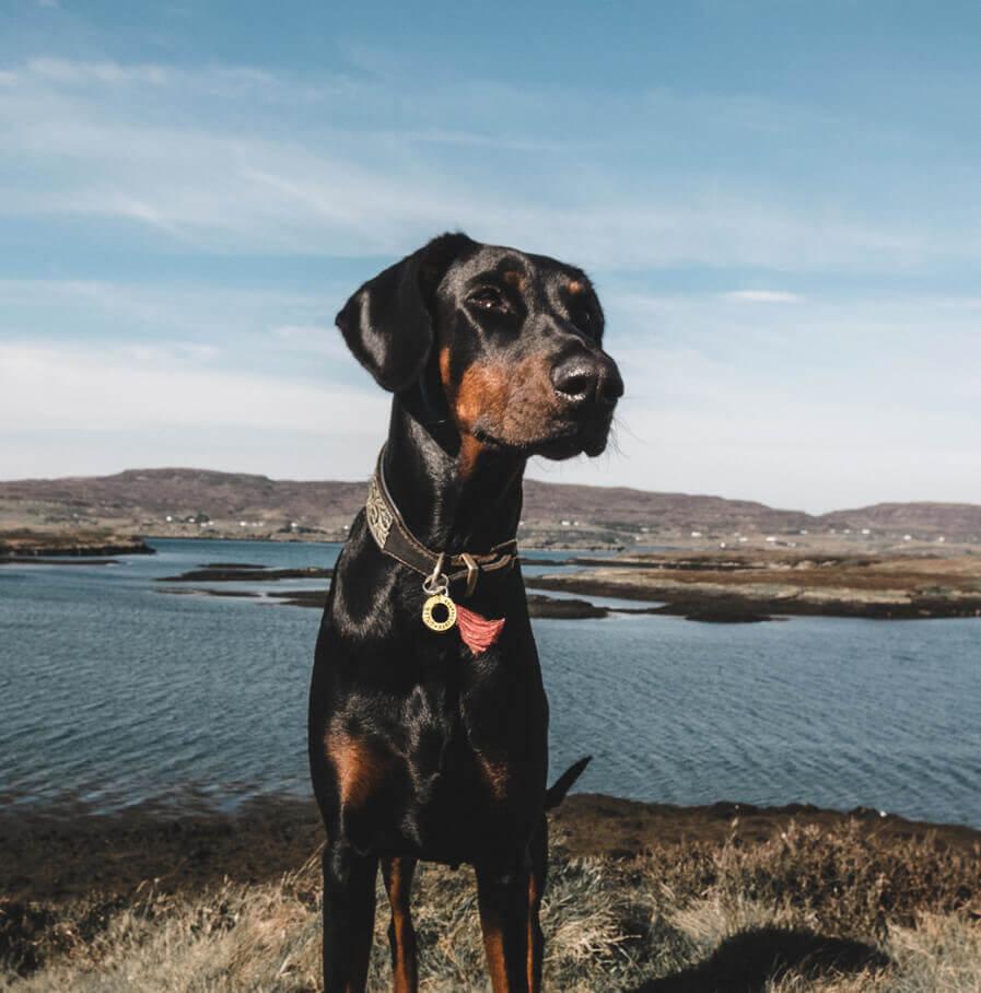 Hundemarke mit Namen an Dobermann