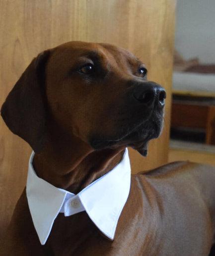 Hemdkragen Hund